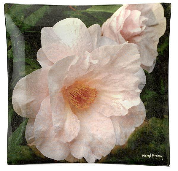 CW3 Camellia-Moonlight Bay