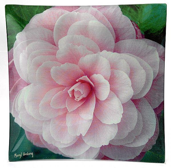 CP1 Camellia